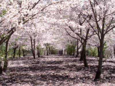 """""""כמו להיות שם"""": יער של דובדבנים פורחים"""