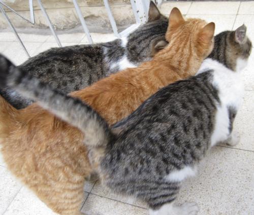 חתולים שלושה