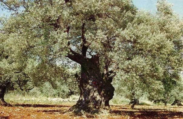 היכן ומתי הומצא עץ הזית?