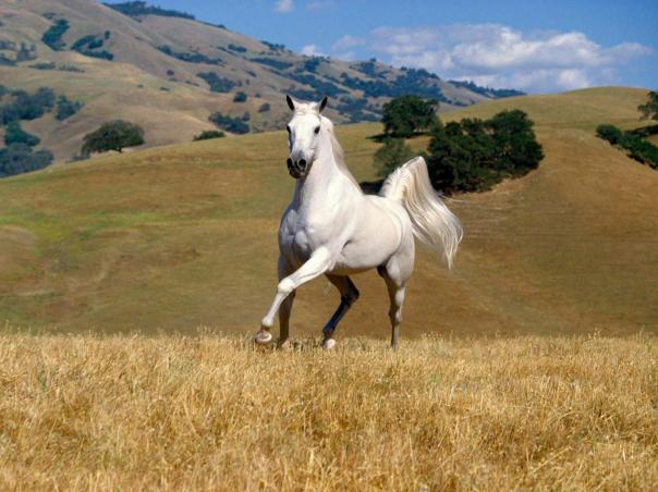 White Horse Wallpapers 13