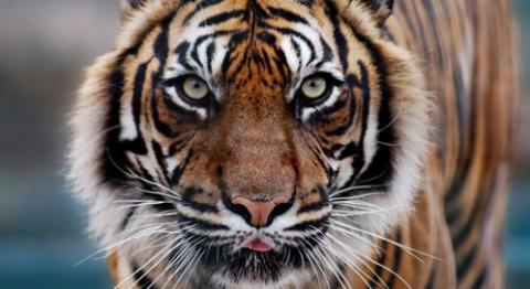 Tamil tiger tiger